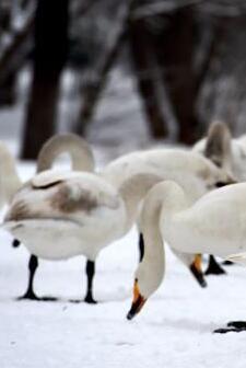 雪中天鵝舞