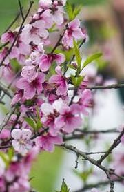 春暖花開迎客來(高清)