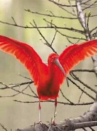 """""""世界最紅的鳥""""河邊流連 街坊..."""